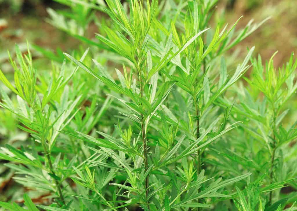 mugwort use