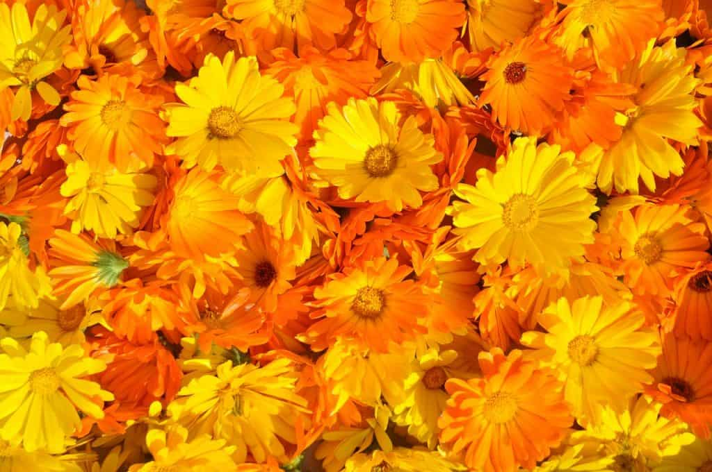 uses of marigold, calendula creme